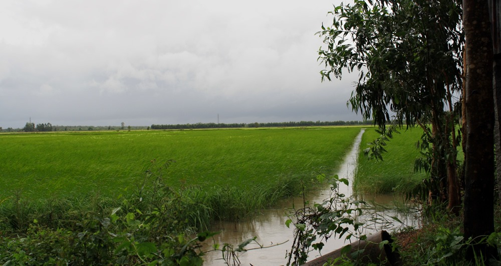 Mekong Delta Floating Rice Field
