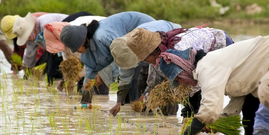 Cambodian farmers planting rice