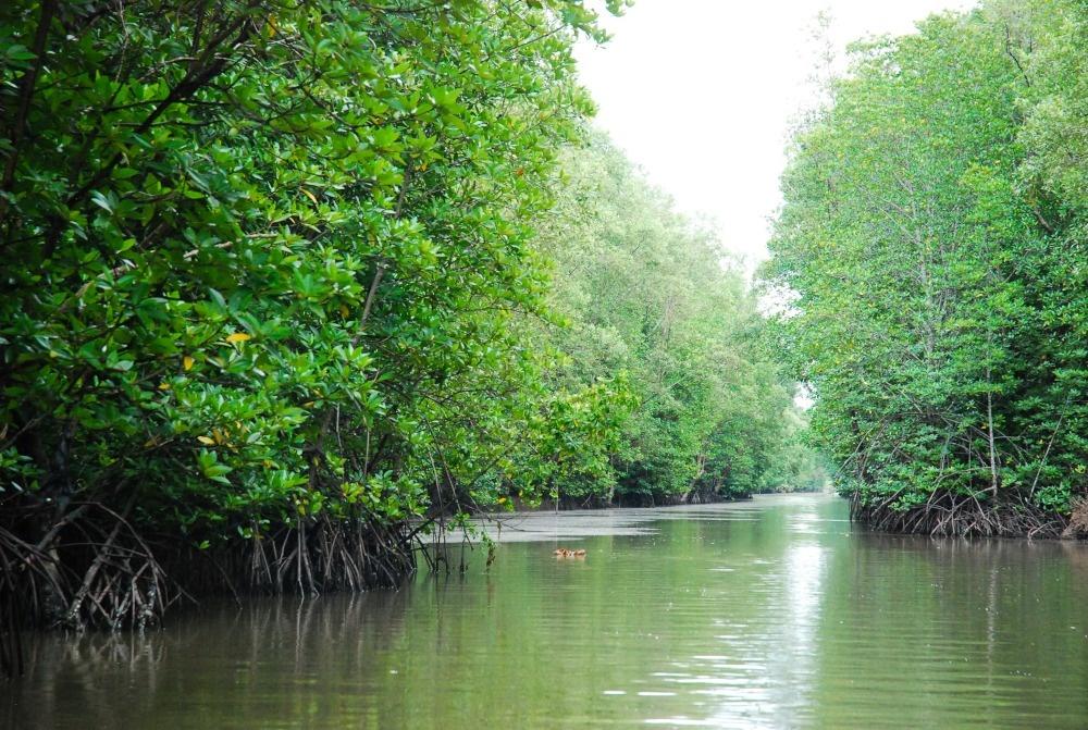 Mangrove forest in Hai Phong, Vietnam (copyright: IUCN).