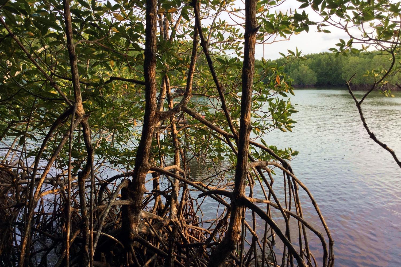 Mangrove forest restoration, Koh Kong